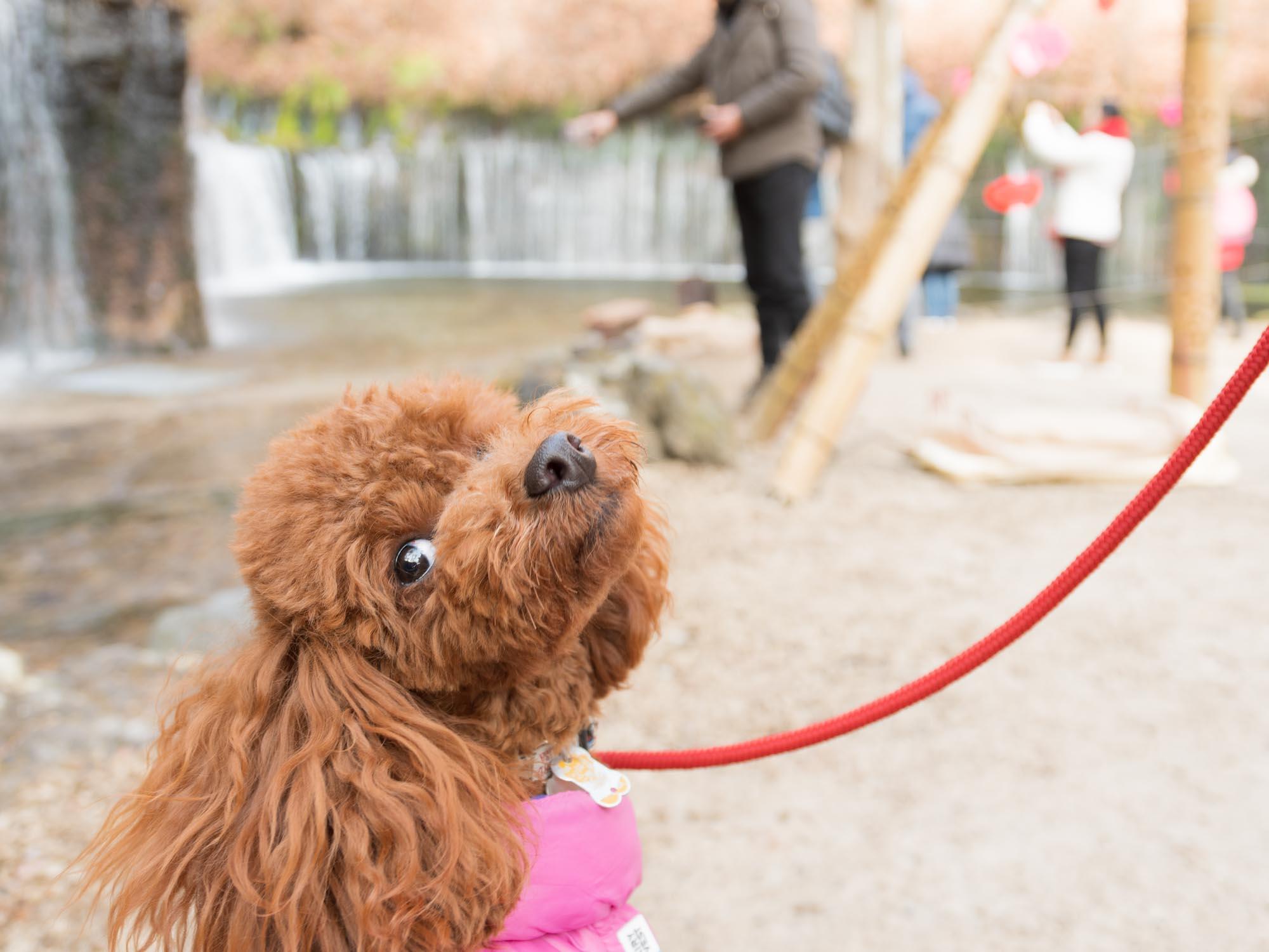 白糸の滝の前で振り返る犬